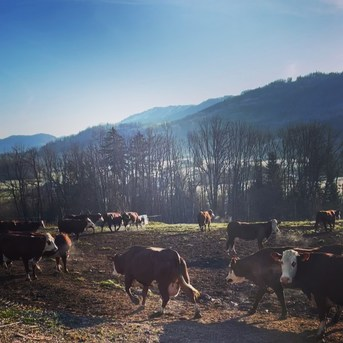 Jour de fête ! Aujourd'hui c'est la première sortie de l'année pour une partie de notre troupeau après de longs mois passés à l'intérieur☀️🐮🎉